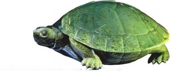 Nephrite tortoise